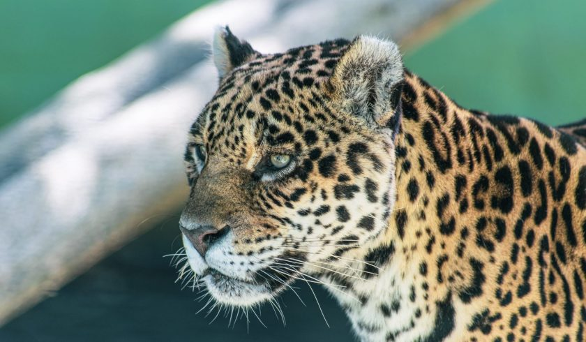 facts on Jaguars