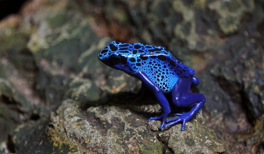 facts about poison dart frogs
