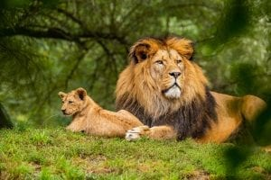 interesing facts about Lions