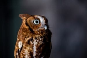 facts about Owls