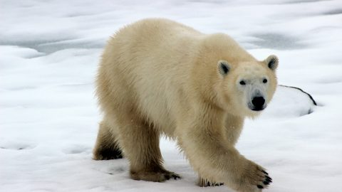 facts about the Polar Bear