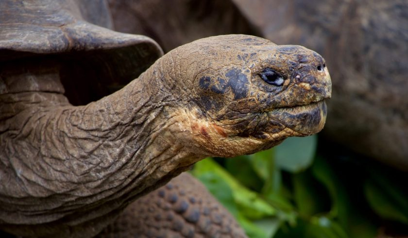 interesting facts about the galapagos tortoises