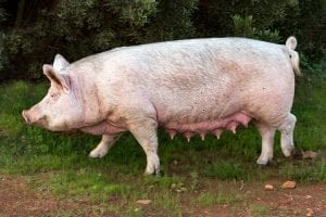 Facts about pigs