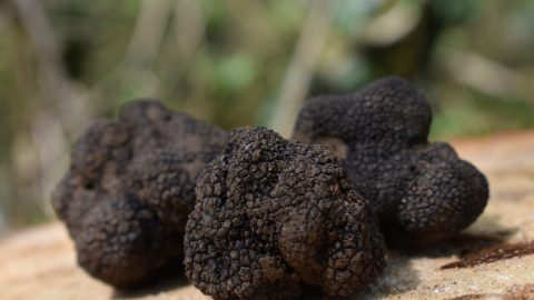 interesting facts about truffles