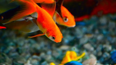 fun facts about goldfish