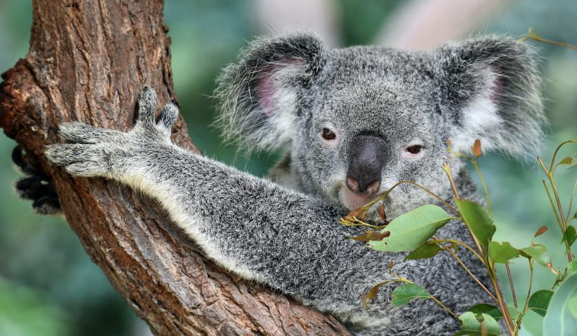 fun facts about koala bears