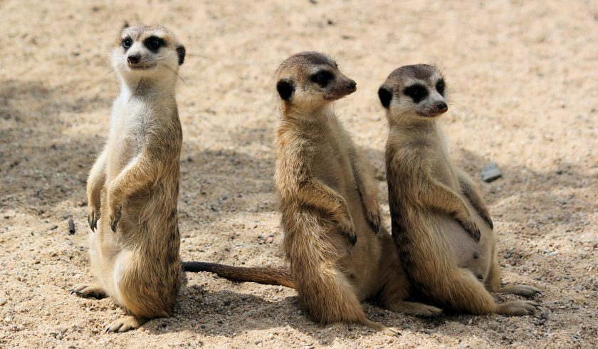 fun facts about meerkats