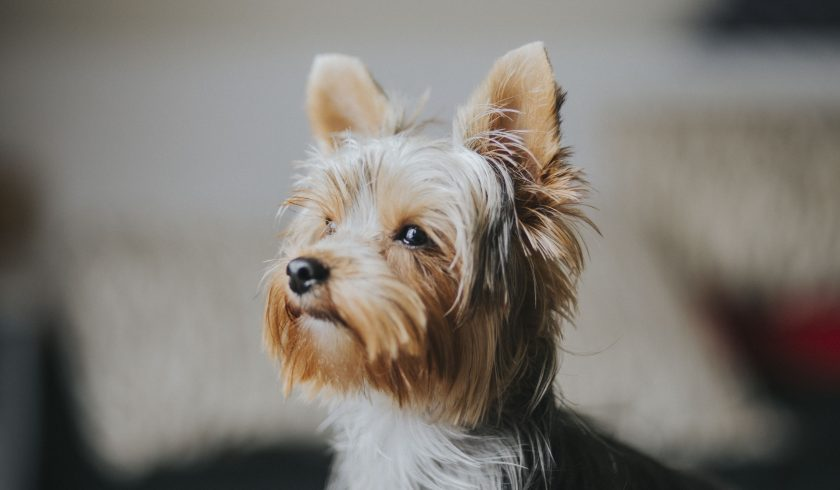 Facts about the Yorkshire Terrier