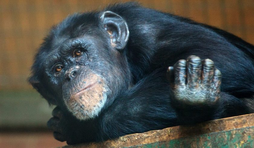 fun facts about Chimpanzees