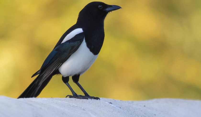 interesting facts about Magpies