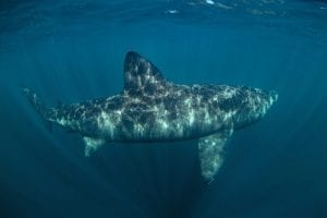 facts about Basking sharks