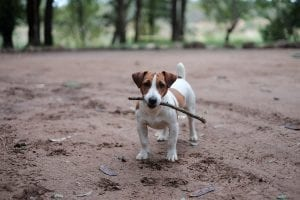 Fun Facts about Jack Russell Dogs