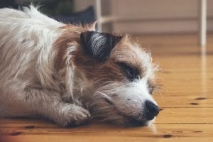 Interesting Facts about Jack Russells