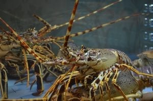 facts about lobsters