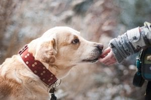 interesting facts about labradors