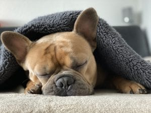 facts about French Bulldogs