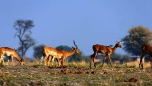 facts about antelopes