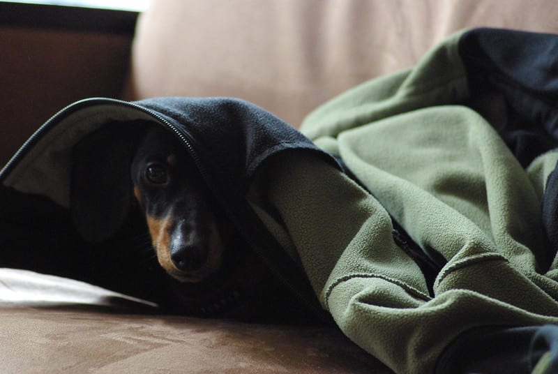 facts about dachshunds