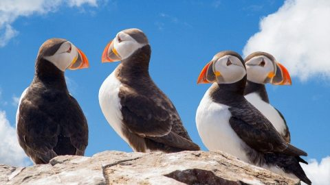 facts about puffins