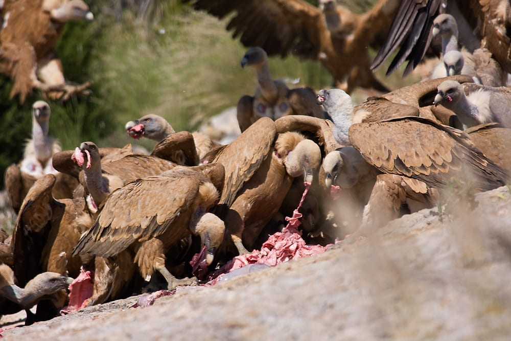 facts about vultures