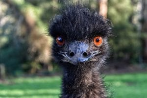 fun facts about Emu