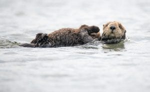 fun facts about otters