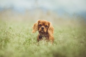 facts about cavalier king charles spaniels
