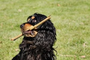 facts about cocker spaniels