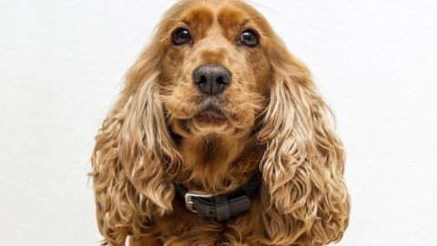 fun facts about cocker spaniels