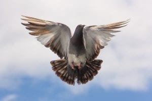 fun facts about pigeons
