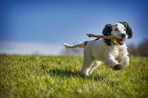 fun facts about spaniels