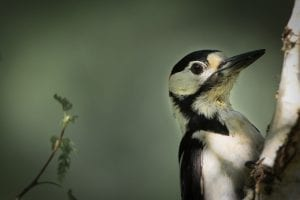 facts about woodpeckers